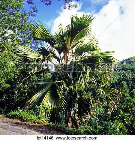 Stock Images of Coco de Mer palm tree, Vallée de Mai, nature.