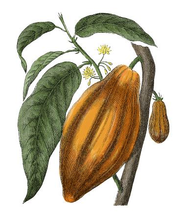 Cocoa Fruit Clip Art, Vector Images & Illustrations.