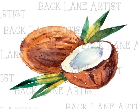 Fruits Coconut Watercolor Drawing Clipart Lineart Illustration.