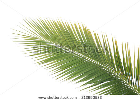 Stems Of Coconut Leaves Stock Photos, Royalty.