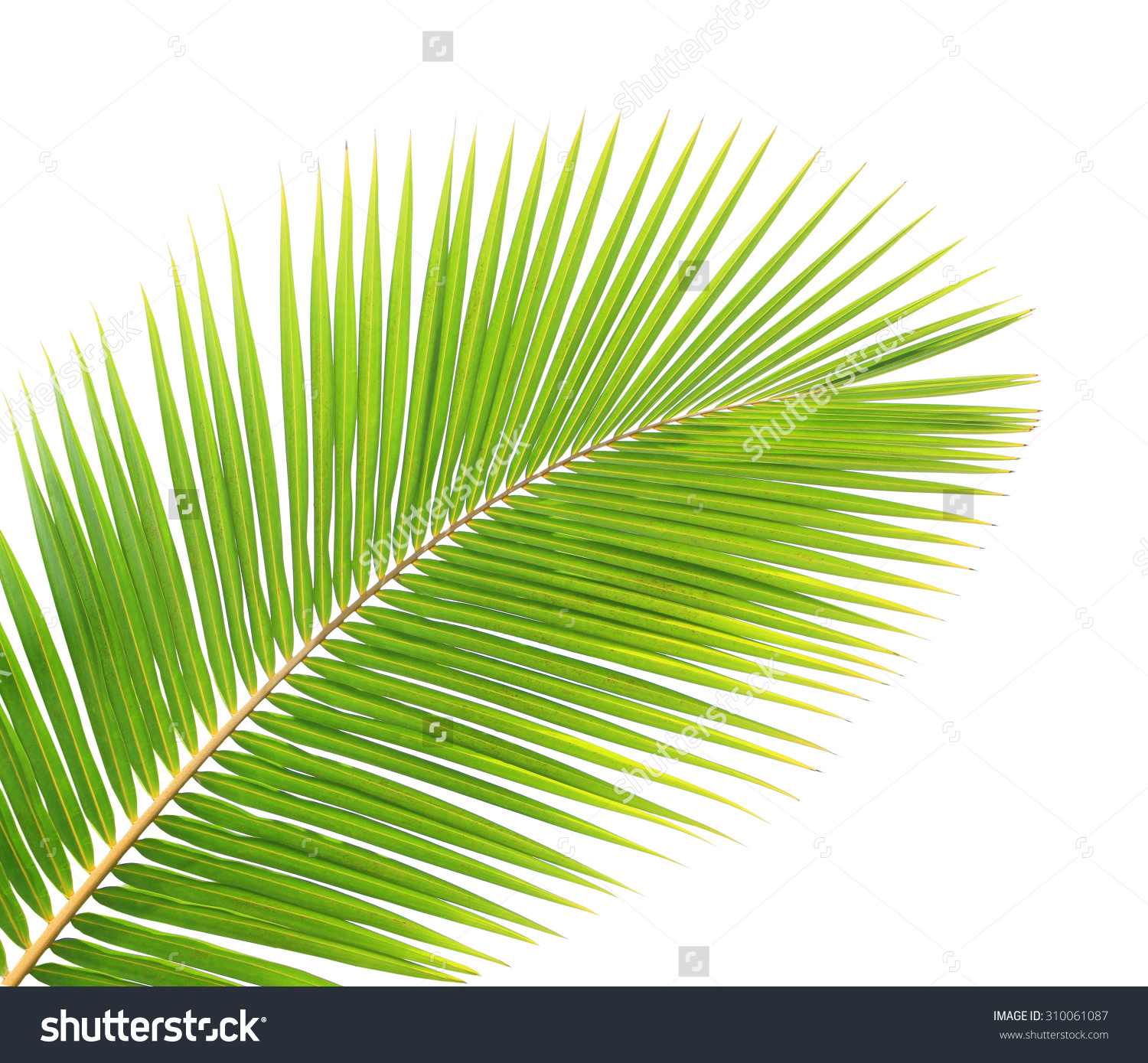 Coconut leaves clipart - Clipground Almond Tree Clipart