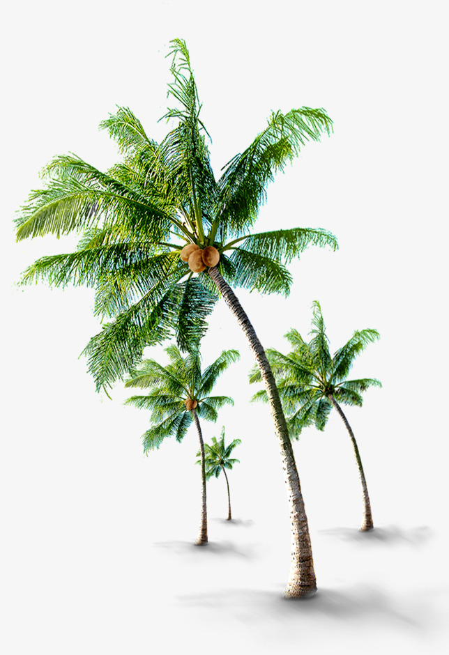 Tropical Coconut Trees, Coconut Clipart, Tourism, Coconut Trees PNG.