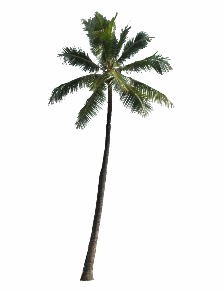 Coconut Palm Tree Png Image.