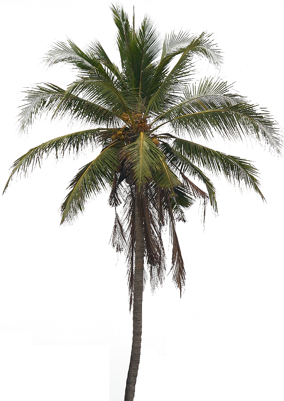 PNG Coconut Tree Transparent Coconut Tree.PNG Images..