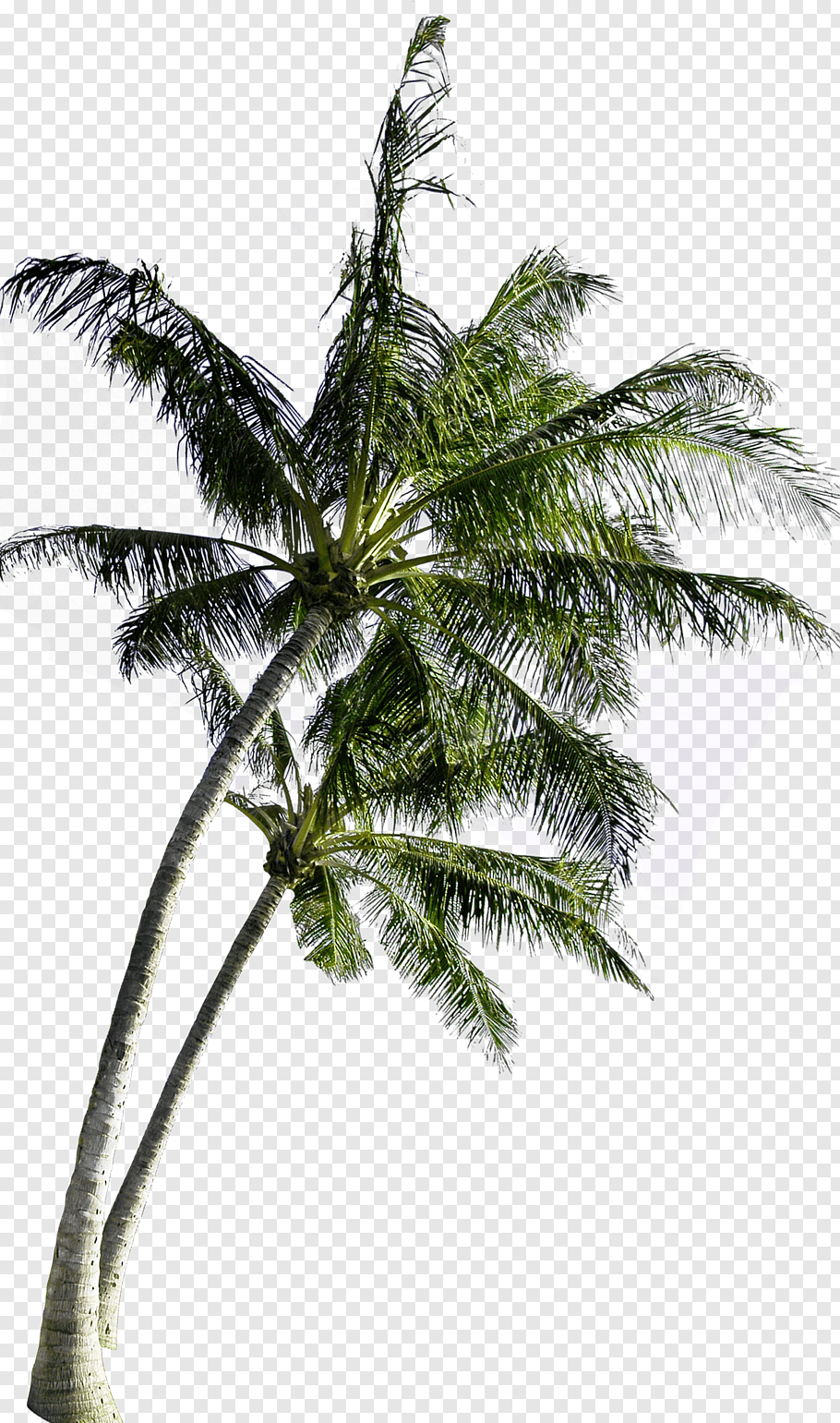 Coconut trees, Coconut Tree Computer file, coconut tree free.