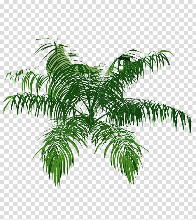 Green coconut leaves illustration, Tree Arecaceae Plan.