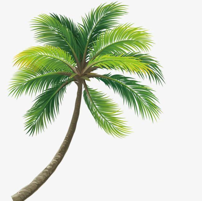 Lush Coconut Trees PNG, Clipart, Coconut, Coconut Clipart, Coconut.