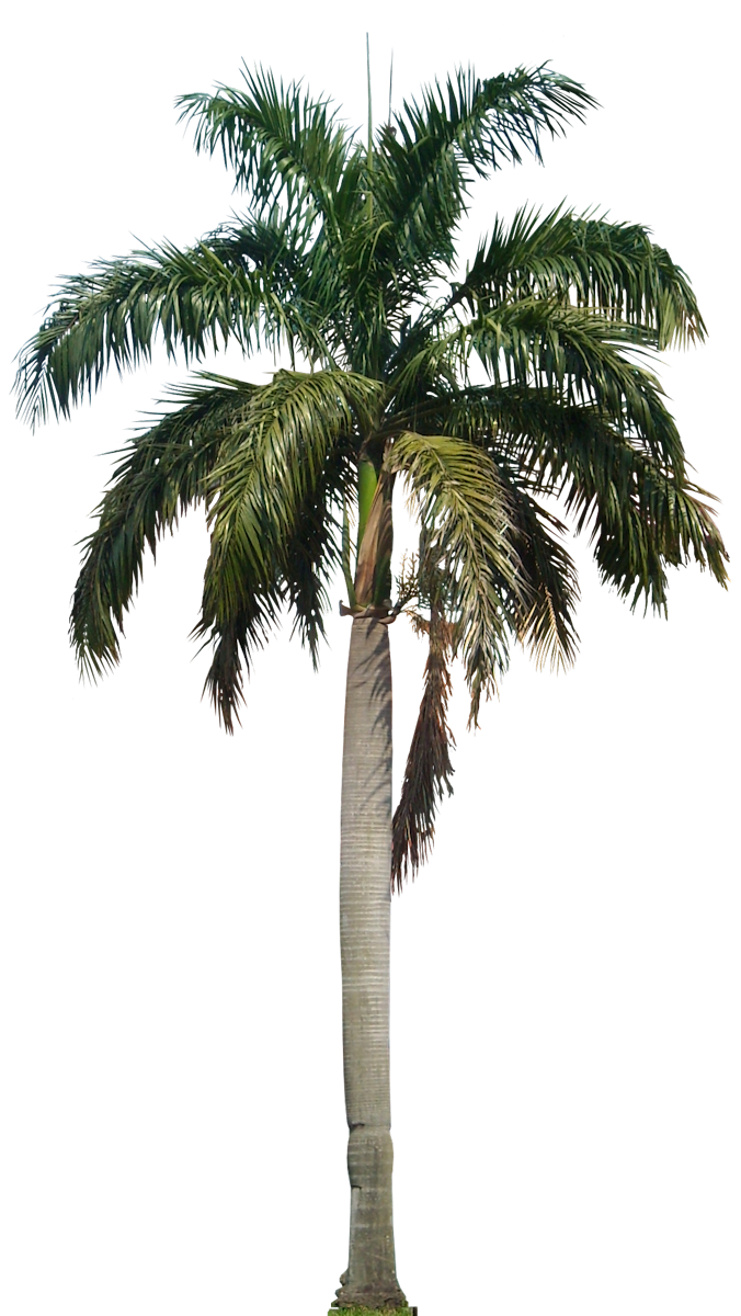 Download Free png Coconut Tree PNG HD.