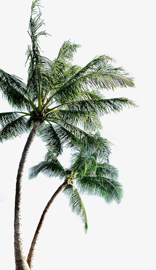 Coconut Tree PNG, Clipart, Coconut, Coconut Clipart, Coconut Clipart.