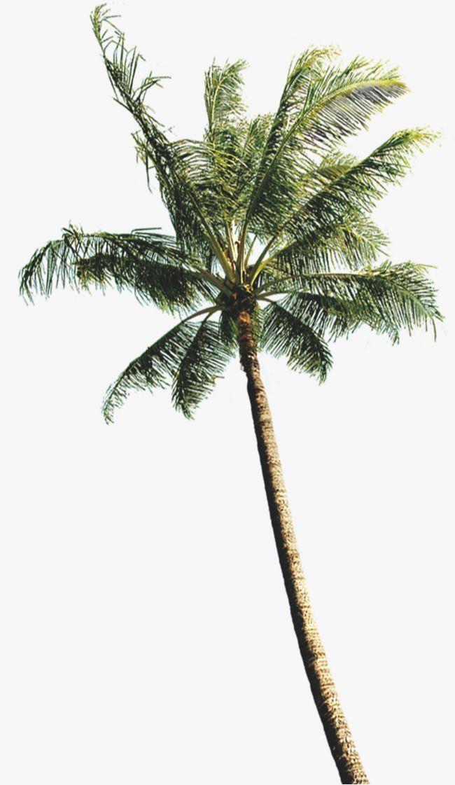 Coconut Tree Photos, Coconut Clipart, Tree Clipart, Coconut Tree PNG.