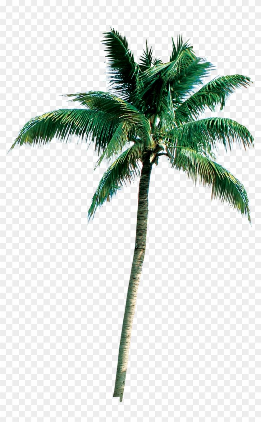 Royal Palm Png.