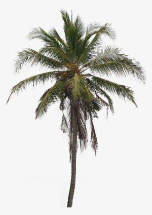 Coconut Tree PNG, Free HD Coconut Tree Transparent Image.