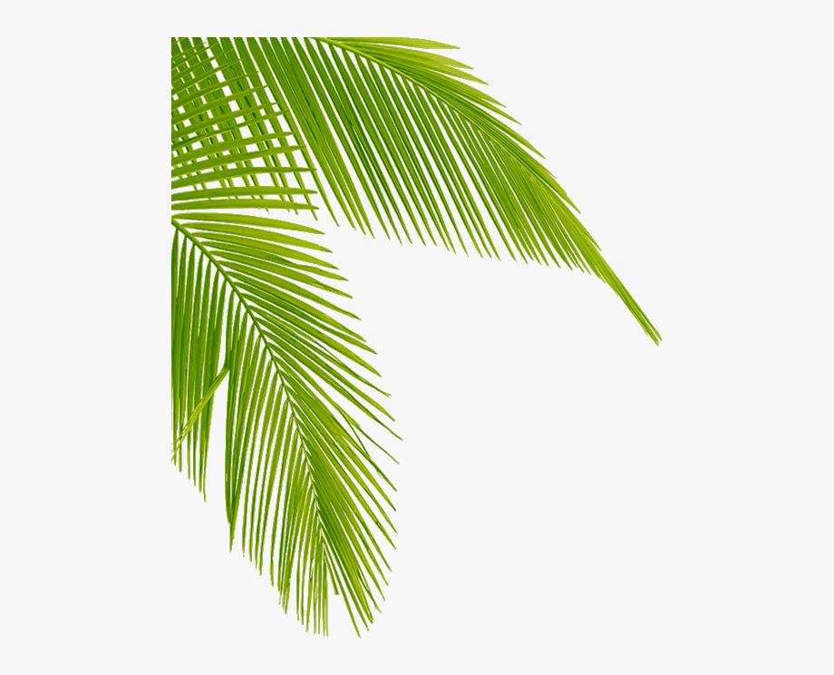 Leaf Png Coconut.