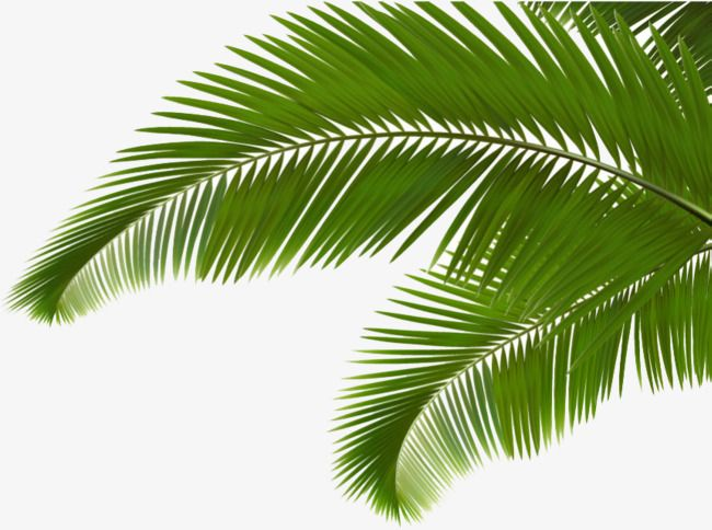 Green Coconut Leaves, Coconut Clipart, Cartoon, Hand Painted.