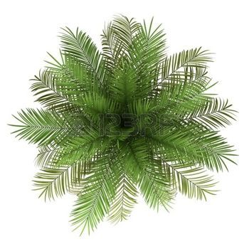 coconut tree top view clipart #3
