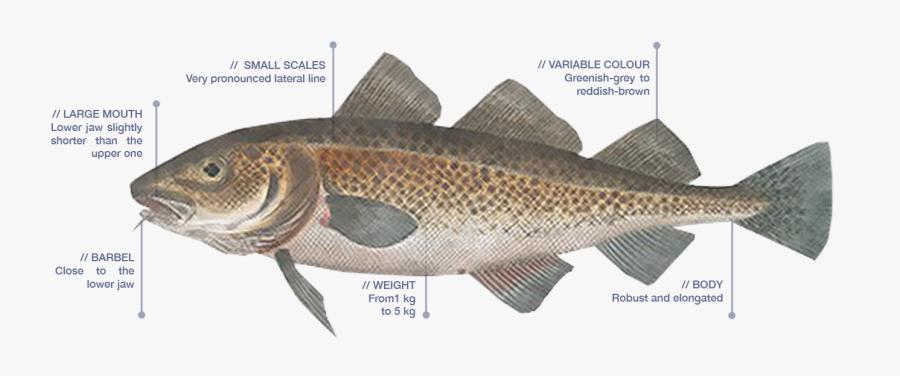 Clip Art Bacalao Fish.