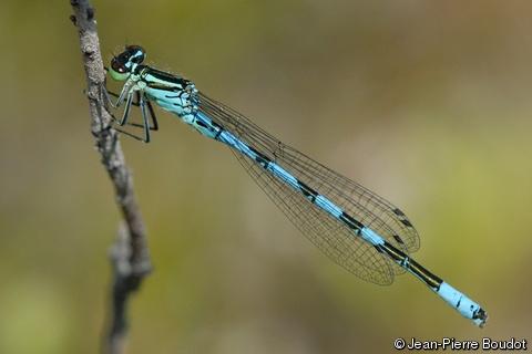 Coenagrion hastulatum (Spearhead Bluet).