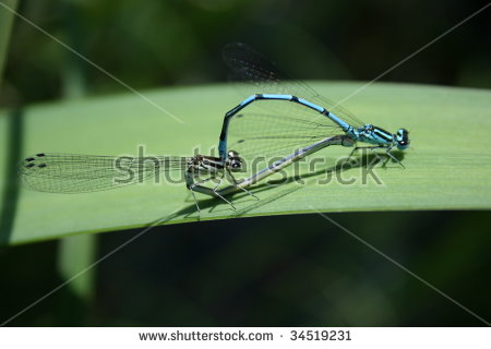 Coenagrion Hastulatum Stock Photos, Images, & Pictures.