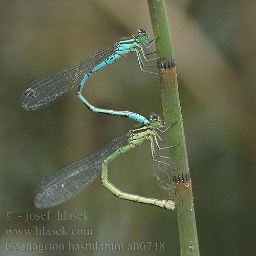 Coenagrion hastulatum Northern damselfly Spearhead Bluet Spyd.