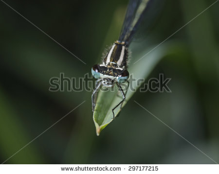 Coenagrion Stock Photos, Images, & Pictures.