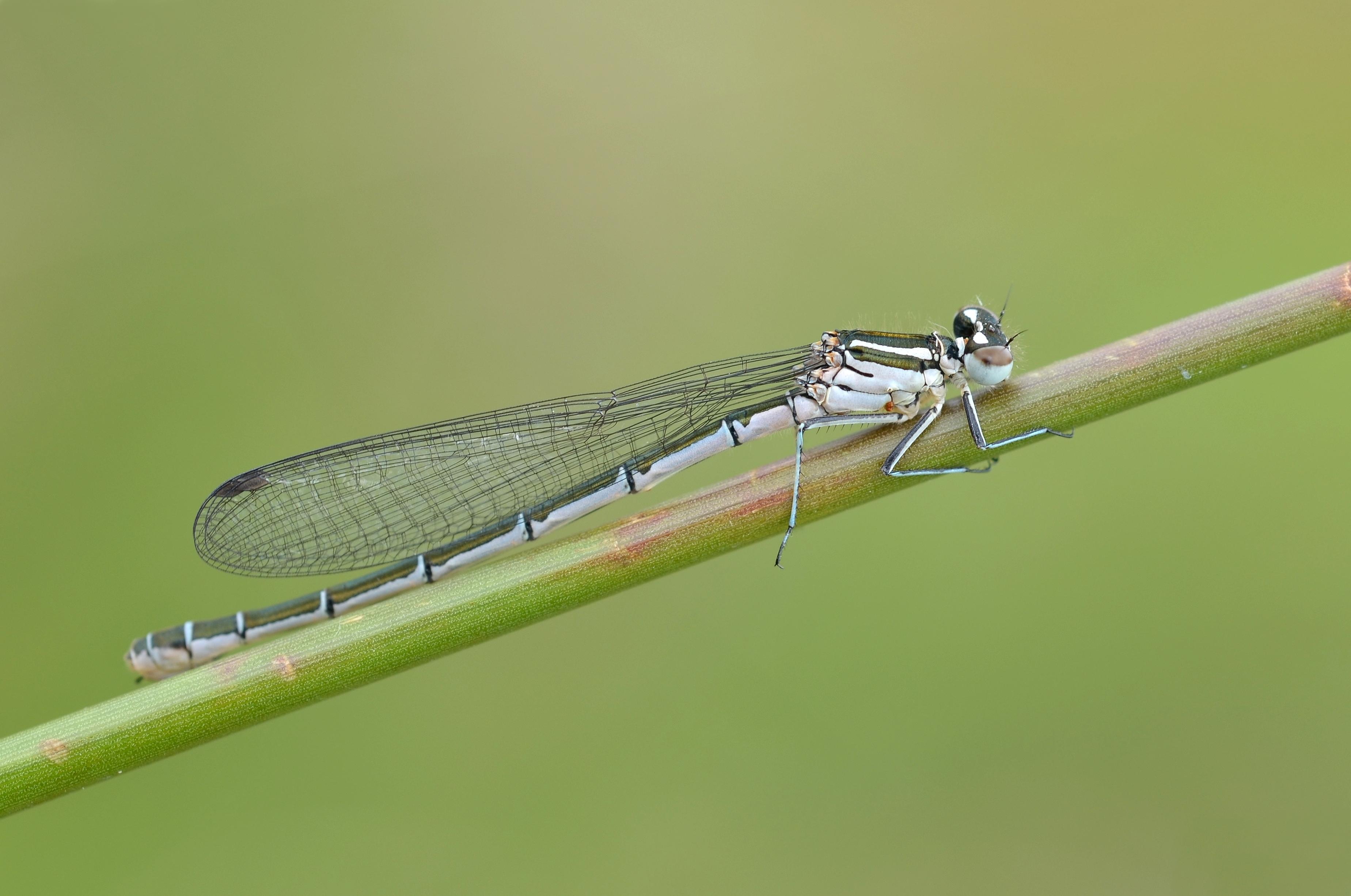 File:Coenagrion hastulatum female (5902893676).jpg.