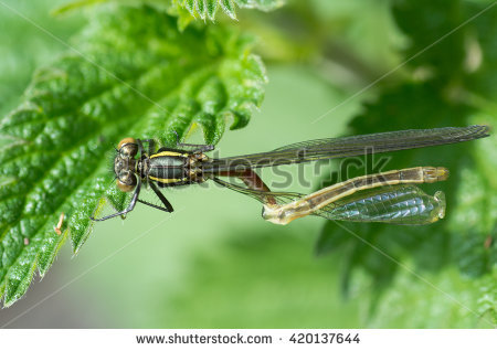 Large Red Damselfly Stock Photos, Royalty.