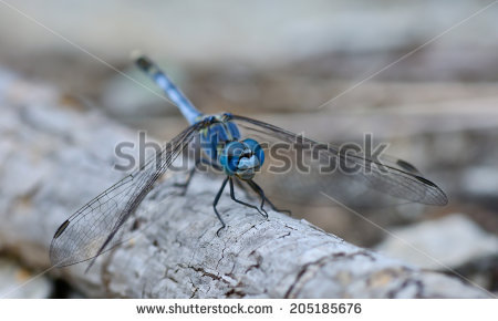 Dragonfly Standing On The Stick Stock Photos, Images, & Pictures.