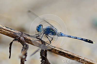 Blue Yellow Dragonfly Standing On Green Branch ; Selective Focu.