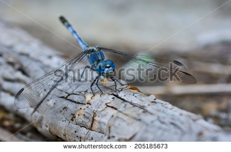 A Blue Dragonfly Stock Photos, Images, & Pictures.