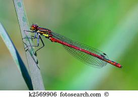 Coenagrionidae Stock Photo Images. 293 coenagrionidae royalty free.