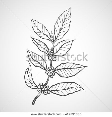 Coffee plant with coffee leaf.
