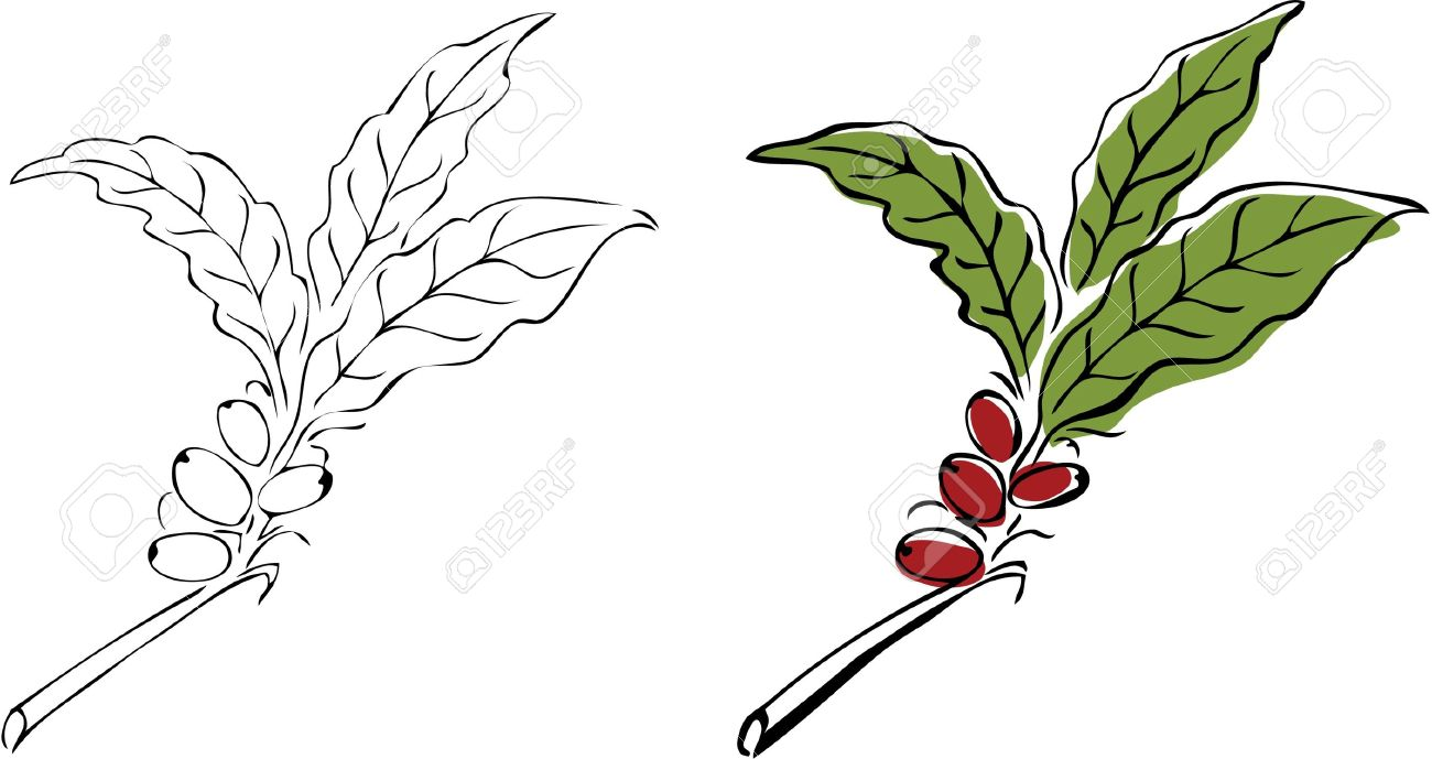 Hand Drawn Coffee Tree Branch. Royalty Free Cliparts, Vectors, And.