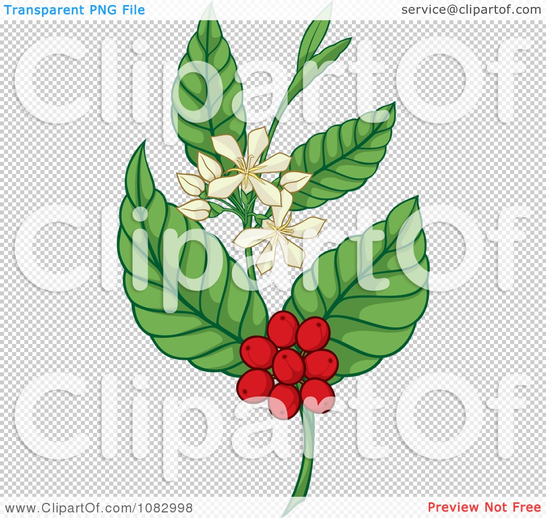 Clipart Coffee Plant With Berries And Flowers.