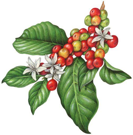 Botanical illustration of the coffee plant, Coffee arabica.