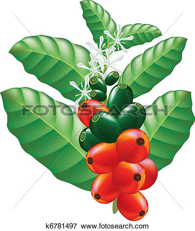 Clipart of Fruits and flowers of coffee tree. k6781501.