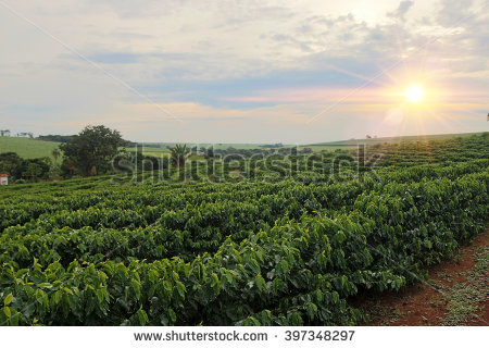 Coffee Plantation Stock Photos, Royalty.