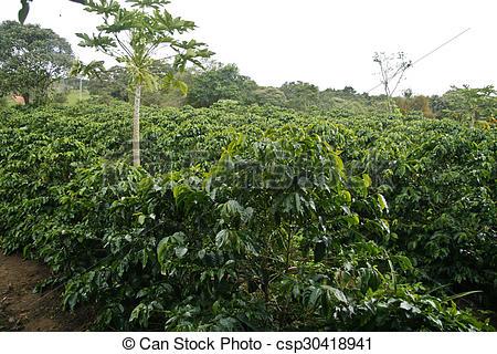 Stock Photo of Coffee plantation.