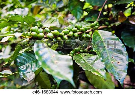 Stock Photo of Coffee plantation near Turrialba and Cartago, Costa.