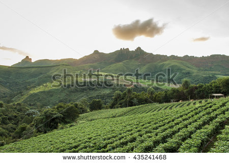 Coffee Plantation Stock Photos, Royalty.
