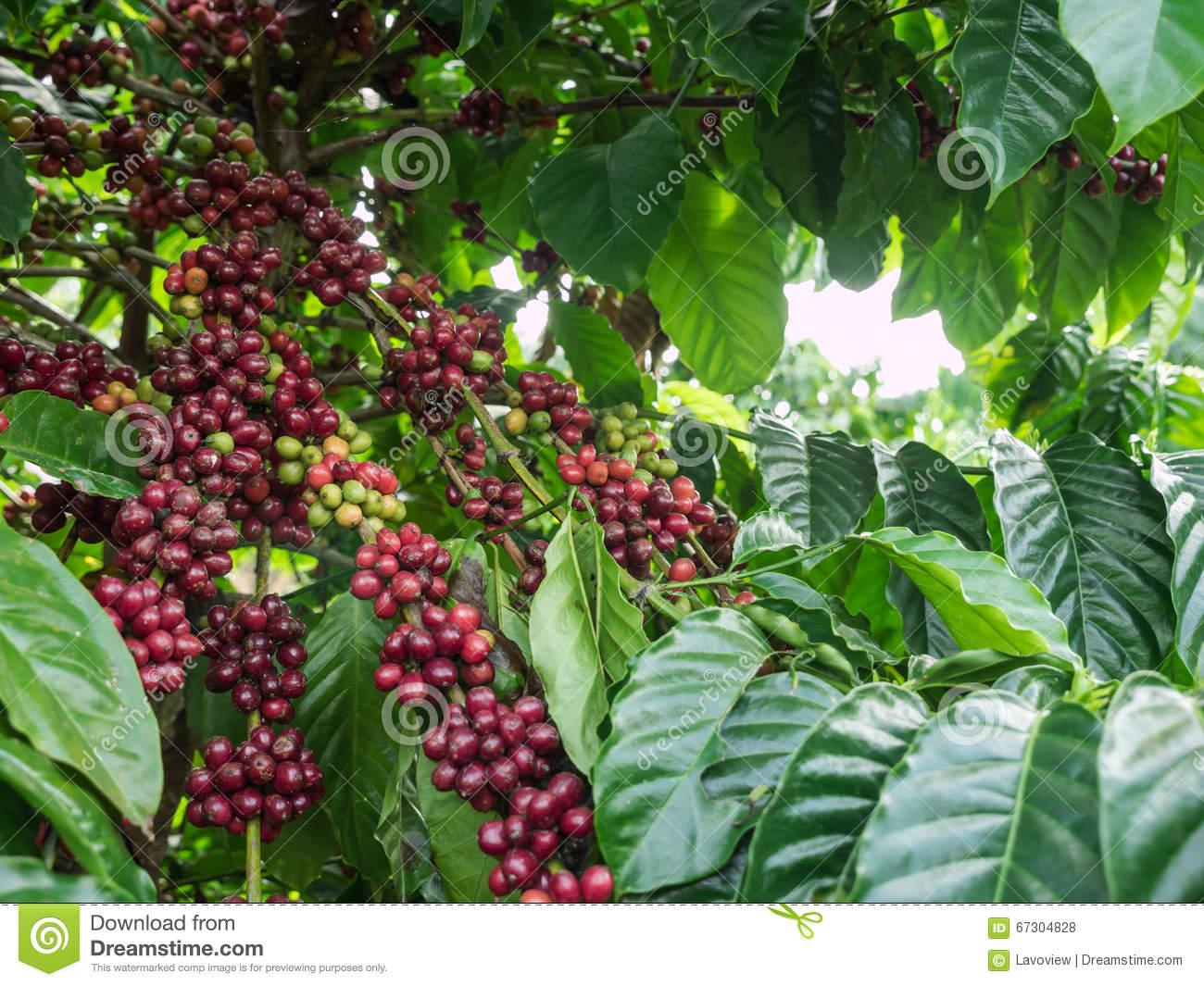 Coffee Plantation, Thailand Stock Photo.