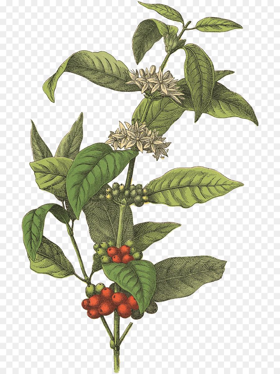 Coffee Tree clipart.