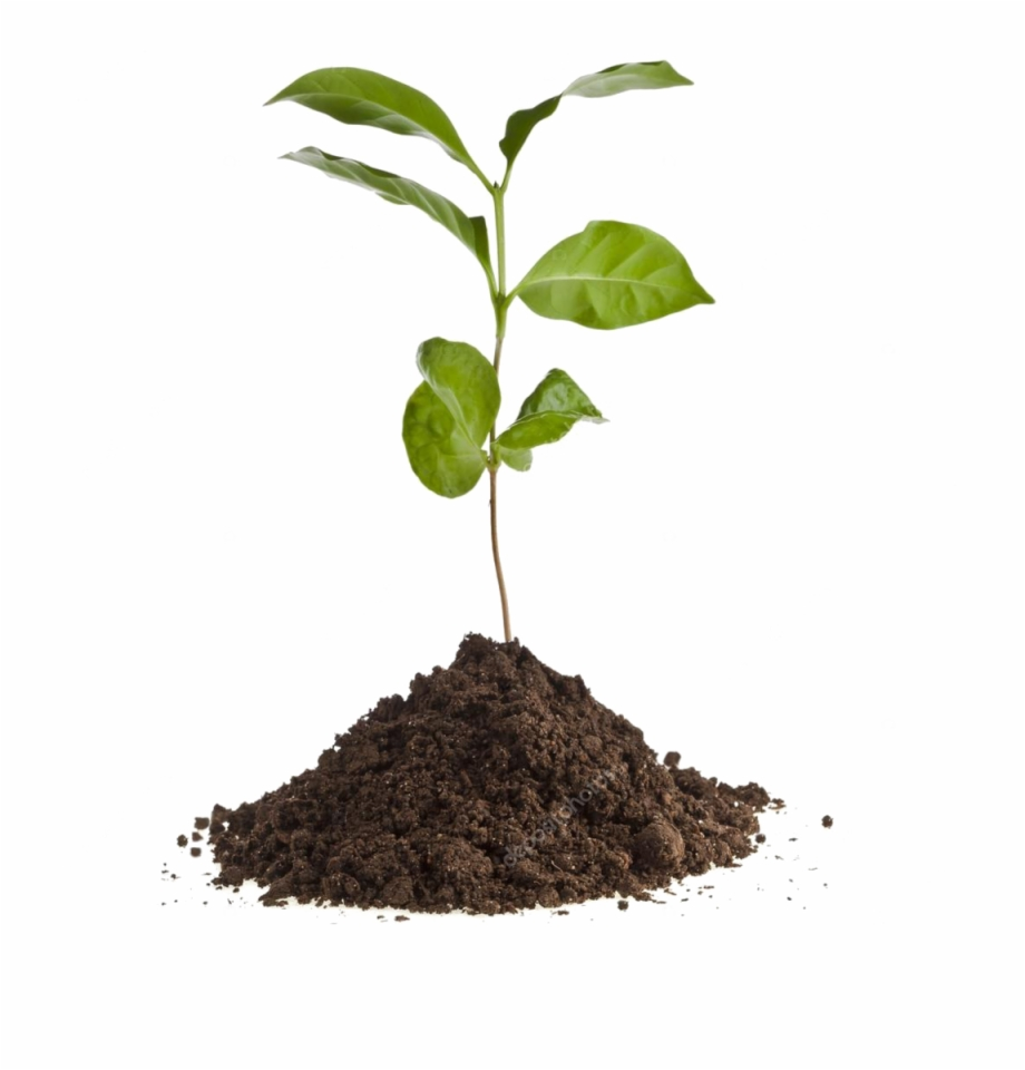 Depositphotos 13839825 Stock Photo Coffee Plant Seedling.