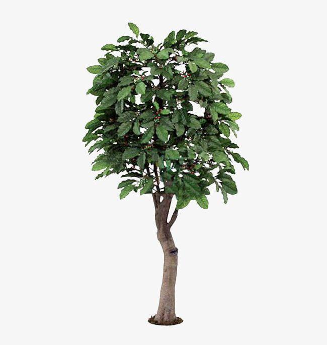 A Coffee Tree Material PNG, Clipart, A Clipart, Big, Big Tree.