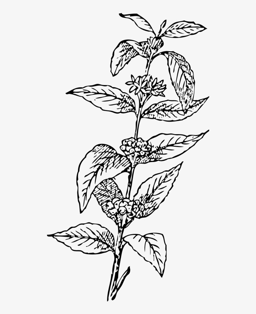 Coffee Tree Drawing At Getdrawings.