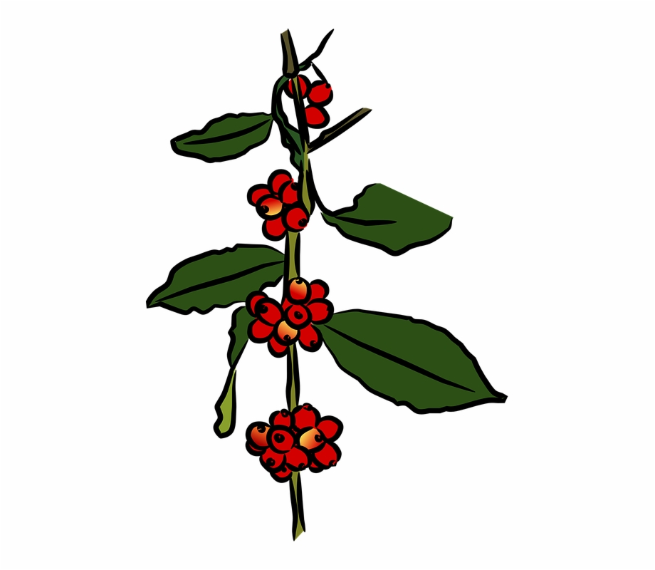 Coffee Tree Coffee Plantation Plant.