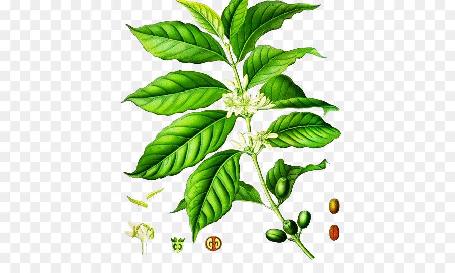 Leaf Green Tea png download.