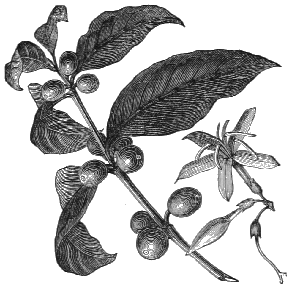File:AGTM D124 The coffee plant.png.
