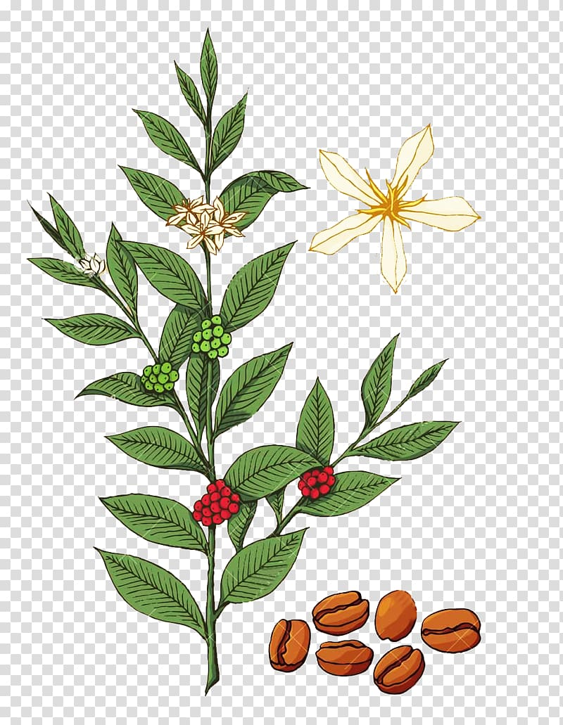 Coffee beans, flowers, and leaves illustration, Coffee Coffea Tree.