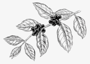 Coffee Tree Drawing at PaintingValley.com.