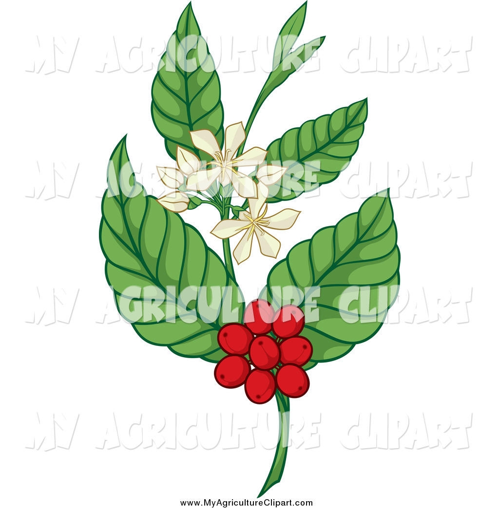 Royalty Free Coffee Berry Stock Agriculture Designs.